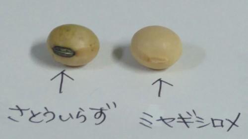 11-2芽の比較