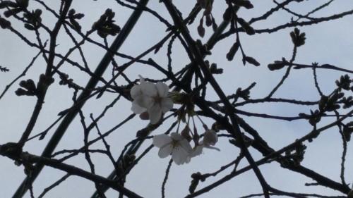 13-3木屋町の桜3.24