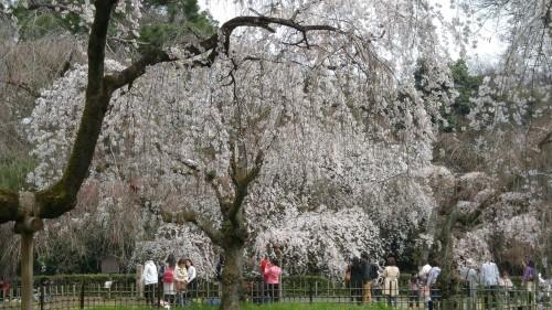 13-2.御所近衛邸のしだれ桜