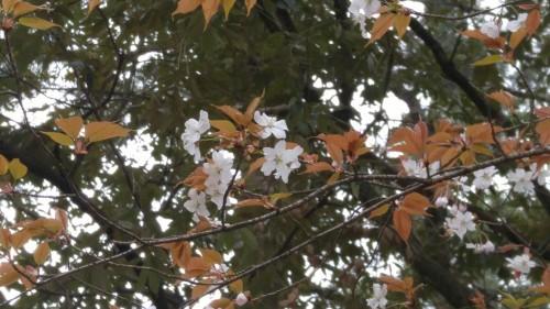 13-3.御所の山桜
