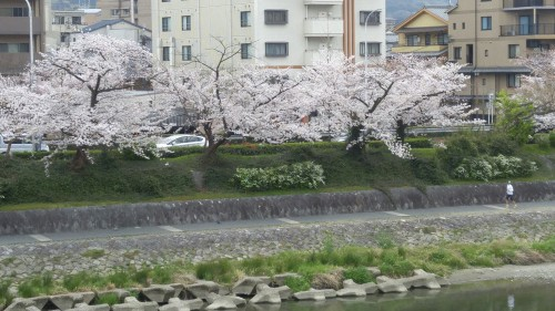 15‐1.鴨川の桜