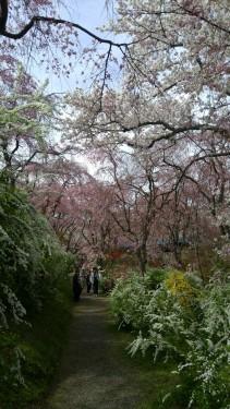 16-2.原谷の桜