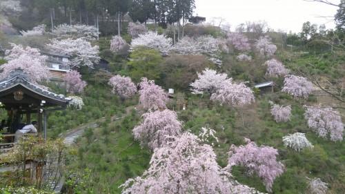 18-2.善峯寺の桜