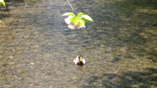 20-5高瀬川の鴨