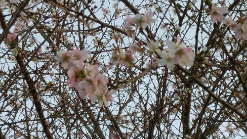 48-2 大原の桜